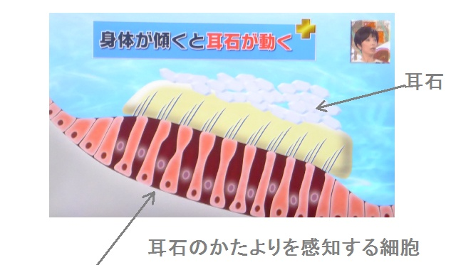 耳石器の働きを示したイラスト