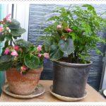 山椒(鉢植え)の栽培の仕方・注意点|冬越した山椒が芽吹きました