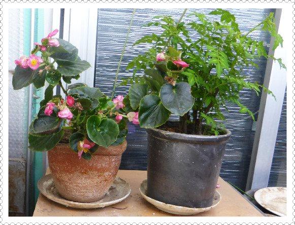 素焼きの鉢植えの山椒の新芽
