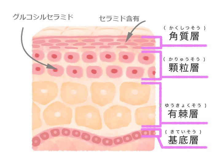 皮膚の構造図イラスト