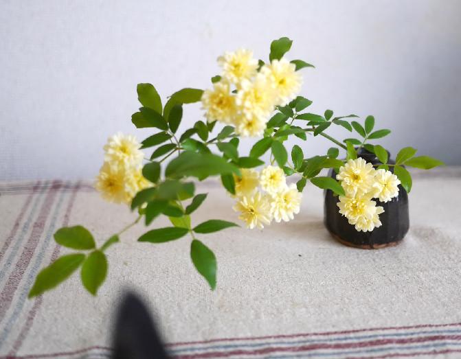 咲かなかったモッコウバラが毎年咲くようになったのは剪定がカギだった