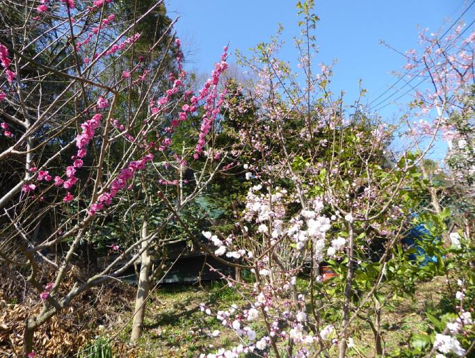 紅白梅と桜