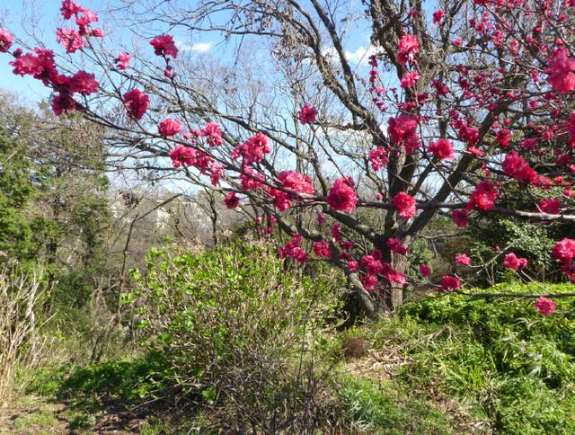 春めく竹山団地