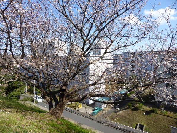竹山団地の桜