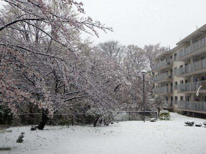 桜にも積雪