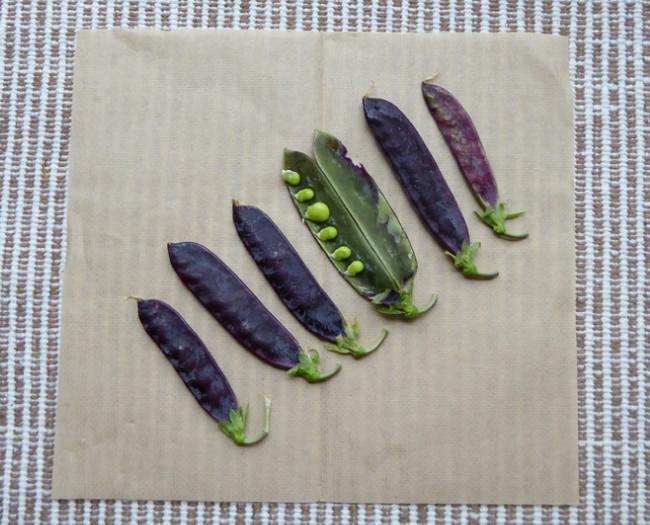 紫のサヤエンドウ