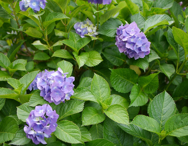 あじさいの季節 さまざまな種類のあじさいが咲き誇っています