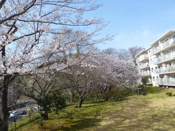 庭のソメイヨシノ開花