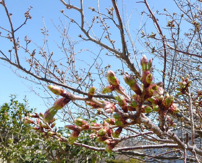 桜、開花カウントダウン
