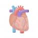 心臓やわらかにするSOD|加齢で硬くなる心臓を改善し心不全を予防
